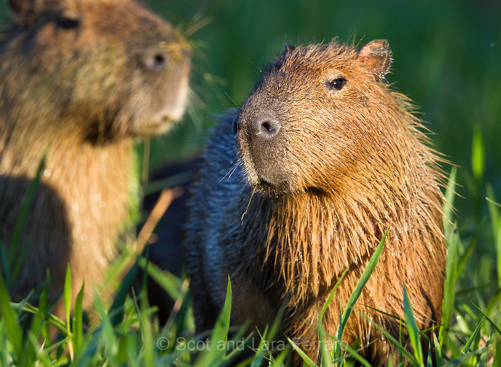The capybara has spotted me and is checking me out before deciding to continue on by.