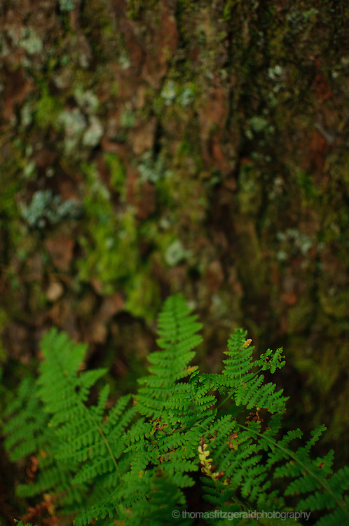 A baby fern grows against bark of a mature tree