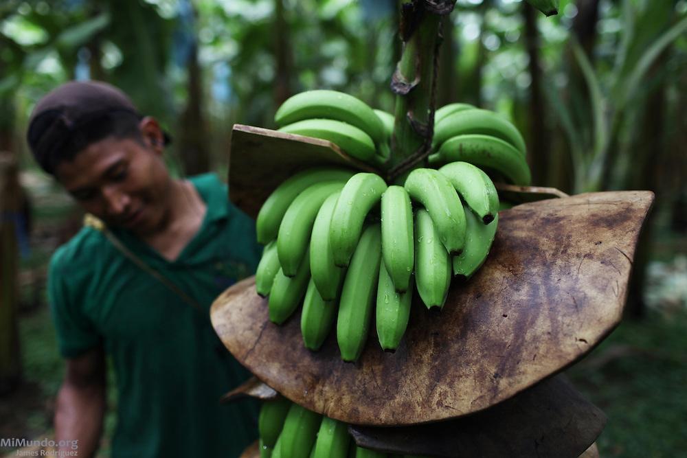 Gavino Barrera, Ngäbe member of COOBANA, protects a recently harvested banana cluster. COOBANA, Finca 51, Changuinola, Bocas del Toro, Panamá. September 3, 2012.