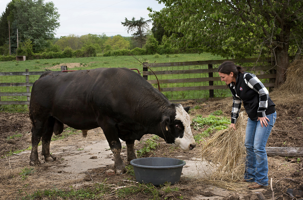 Jefferson Township, PA, May 4, 2017:  Pro golfer Rachel Rohanna offers hay to one of their 2000-pound bulls in Greene County, PA. ( Martha Rial for espnW)