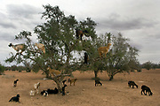 A herd of goats climbs an olive tree to feed its leaves and fruit,in the Taroudannt valley.