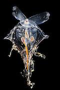 [captive] Sea butterfly or Thecosomata (Diacria trispinosa) Atlantic Ocean, close to Cape Verde | Planktische Meeresschnecke (Diacria trispinosa), Atlantischer Ozean, nahe Kap Verde