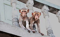 Young monkeys on balcony, India. People and places fine art photography prints