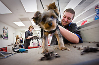 JEROME A. POLLOS/Press...Nick Logsdon trims the fur of a Yorkshire Terrier at the Petco grooming center Thursday in Coeur d'Alene.
