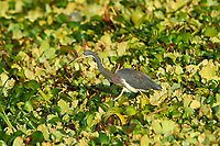 Tricolored Heron (Egretta tricolor) searching for food among water hyacinths on Lake Chapala, Jocotopec, Jalisco, Mexico