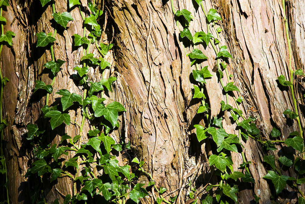 Ivy growing on a tree trunk, Herefordshire, England, United Kingdom