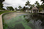 Blue-green algae  in a canal in Cape Coral, Florida. Many people are leaving their homes due to the envirenmntal disater.
