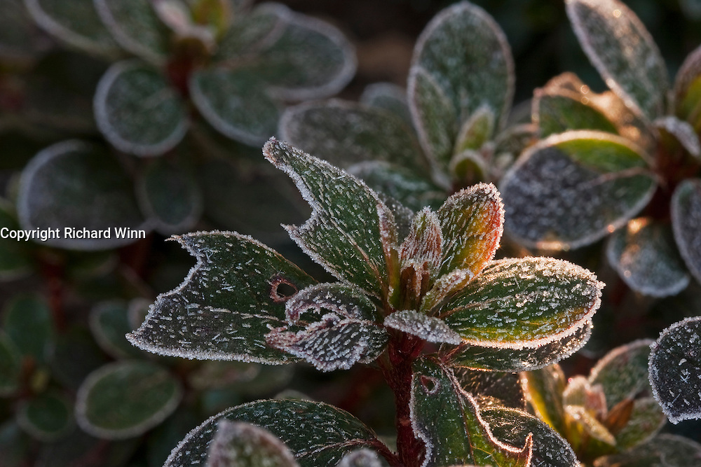 Closeup view of a garden azalea covered in frost. Some slight backlighting from the sun shining through a fence slat helps to isolate one cluster of leaves and adds contrast to the ice crystals.