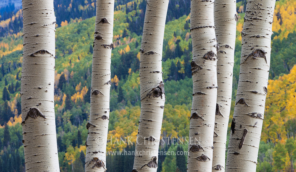Bone white aspen trunks create abstract lines over distant fall foliage, Ridgway Colorado