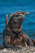 Marine Iguana (Amblyrhynchus cristatus) and Lava lizards (Tropidurus albemarlensis)<br /> Cabo Douglas, Fernandina Island, GALAPAGOS ISLANDS<br /> ECUADOR.  South America<br /> ENDEMIC TO THE ISLANDS<br /> These are the only true marine lizard in the world. Although not truely social they are highly gregarious, often spending cool nights in tight clusters. As the sun rizes they can be seen sunning themselves on the rocks to heat up before going into the sea to feed. Their black coloration helps them to absorb the sun's energy and to camourflage on the lava rocks.