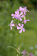 Sticky Catchfly Lychnis viscaria Height to 55cm<br /> Upright perennial with sticky stems. Grows in dry, rocky places. Leaves are narrow-oval and paired. Flowers are pinkish-purple with 5 lobes. Status Rare, restricted to a few sites, mainly in Scotland but also in Wales.