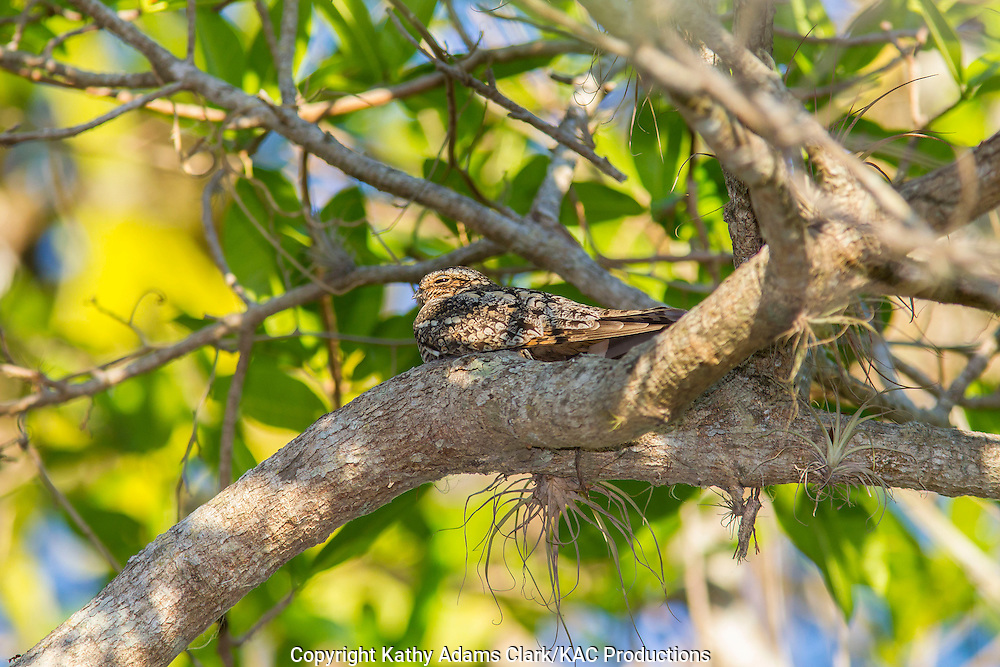 Lesser nighthawk, Chordeiles acutipennis, roosting during the day, Guanacaste, Costa Rica, on the Gulf of Nicoya, at La Ensenada Lodge.