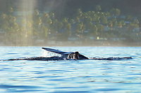 I was on my kayak in San Diego looking for sea mammals to photograph when this California Gray Whale at La Jolla Shores sprayed and then raised its tail before submerging into the Pacific Ocean.