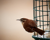 Marsh Wren. Image taken with a Nikon D5 Camera and 600 mm f/4 VR lens