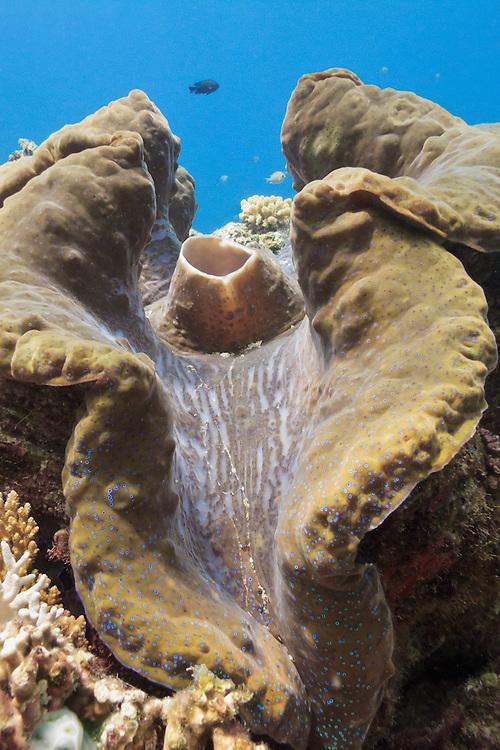 Giant clam (Tridacna gigas) - Agincourt Reef, Great Barrier Reef, Queensland, Australia.