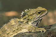 Tuatara<br />