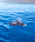 Whalewatching Tenerife: Mother and calf Pilot whales (Globicephala macrorhynchus) off the coast of Tenerife, in the Canary Islands,