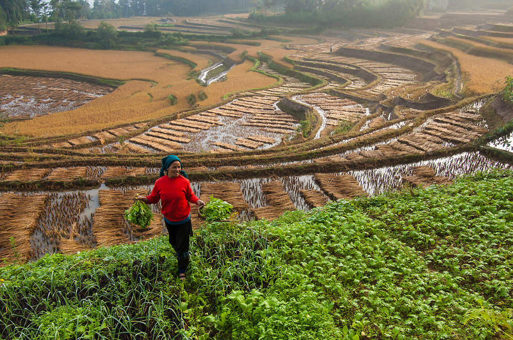Li Kaixin family harvesting rice near Sheng Cun Village in Yuanyang County, Yunan province, China.  The grain is threshed in the field before bagging to carry out.  The stalks are laid out to dry in the terraces.