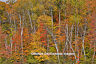 64776-01310 Birch trees and fall color Schoolcraft County Upper Peninsula Michigan