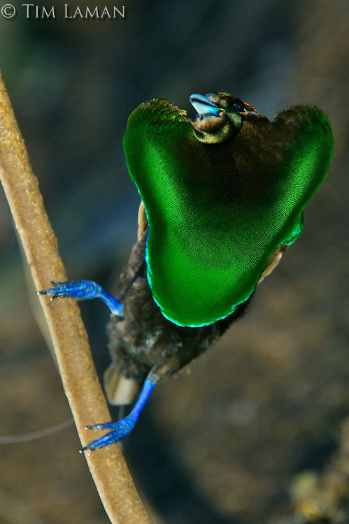 Magnificent Bird of Paradise.(Cicinnurus magnificus) male displaying his green breast shield to a female above from his display perch in the middle of his cleared court...