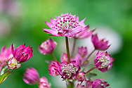 Astrantia in a border at Stockton Bury Gardens, Kimbolton, Leominster, Herefordshire, UK