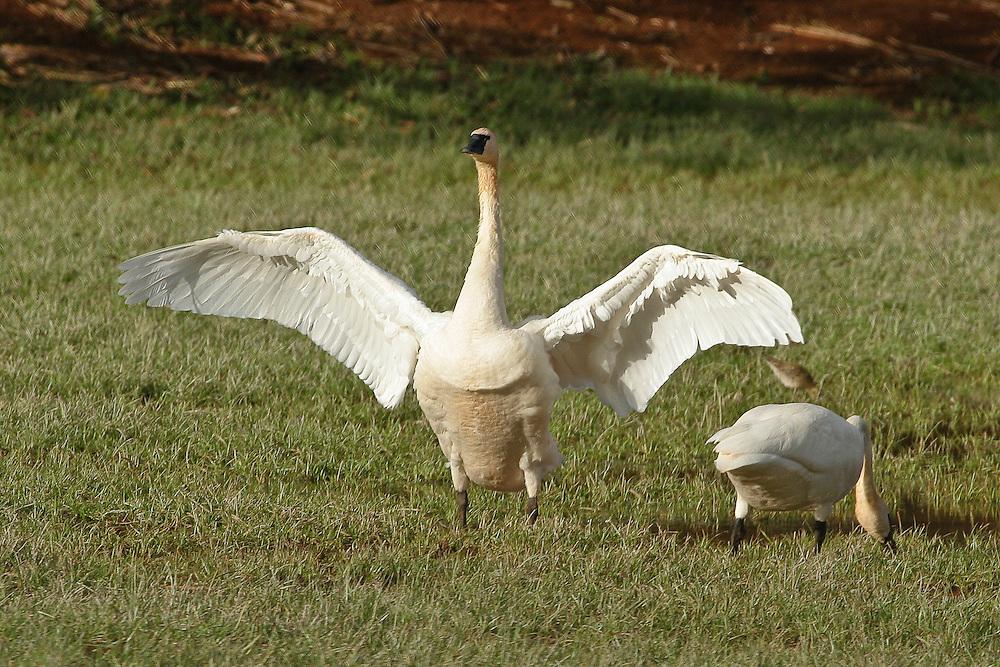 Whistling Tundra Swan photo Hawaii