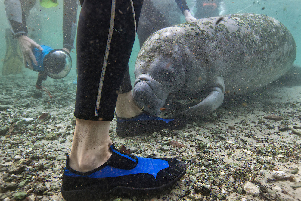 Portrait of a West Indian manatee chewing on a tourists shoe underwater (Trichechus manatus), Crystal River, Three Sisters Spring, Florida.