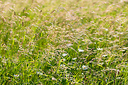 Wildflowrs and wild ornamental grasses in wildflower meadow grassland field in Gloucestershire, UK