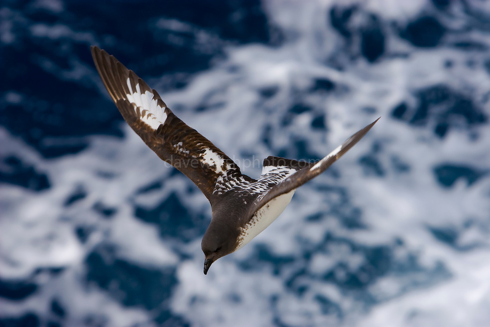 Cape Petrel, Daption capense, also known as the cape pigeon, pintado petrel, is a common seabird of the Southern Ocean from the family Procellariidae. It is the only member of the genus Daption, and is allied to the fulmarine petrels. It is also sometimes known as the Cape Fulmar, Cape Pigeon, or Pintado Petrel. The Cape Petrel has two subspecies, D. c. capense and D. c. australe.