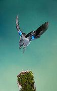 Plain-colored Tanager (Tangara inornata), Panama, Central America