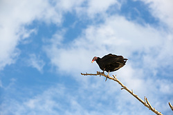 vulture on a tree branch against the sky