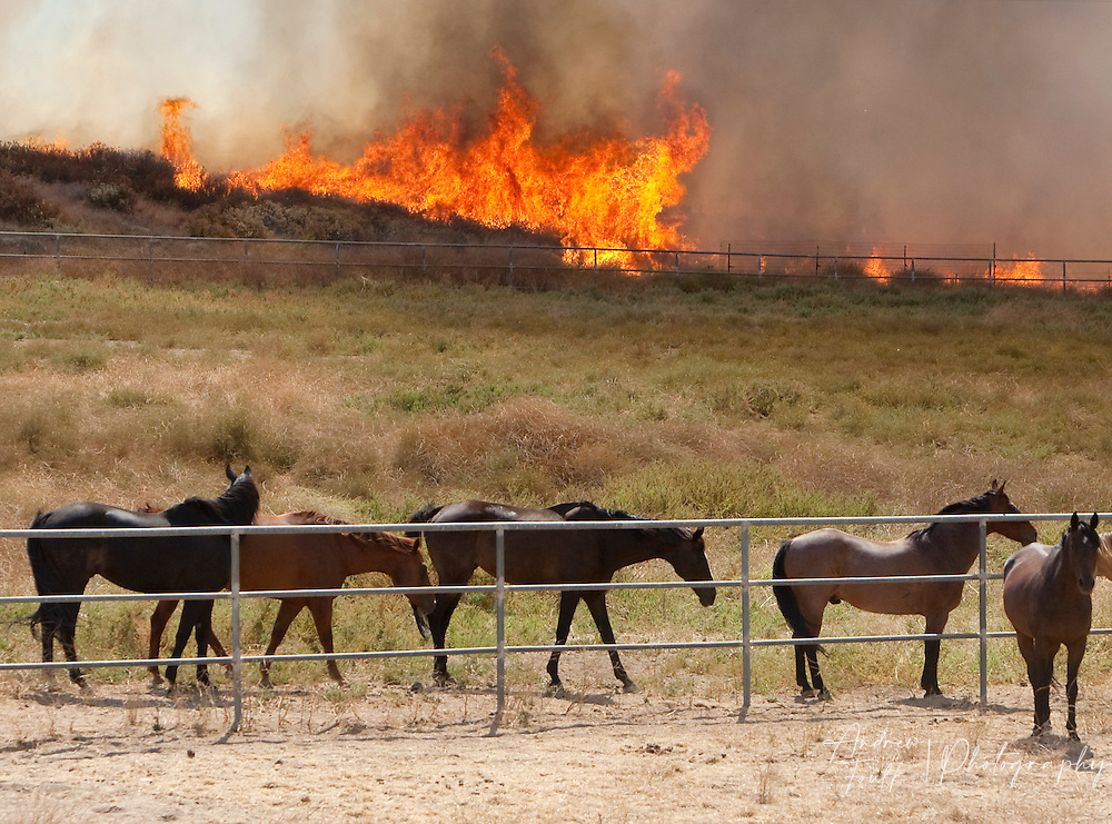 /Andrew Foulk/ For The Californian/ .Horses watch as flames ingulf brush and trees at the Menifee Meadows Equestrian Center off of Briggs road in Menifee during a brush fire that consumed over 25 acres.