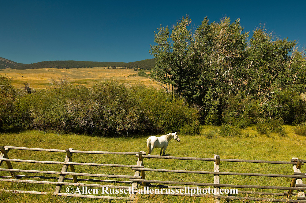 White Quarter Horse in pasture, Grasshopper Valley, Southwest Montana