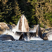Humpback whales (Megaptera novaeangliae kuzira) bubble net feeding in the warm light of late evening during summer in Alaska. The baleen in the mouth of the lead whale is clearly visible from this angle.