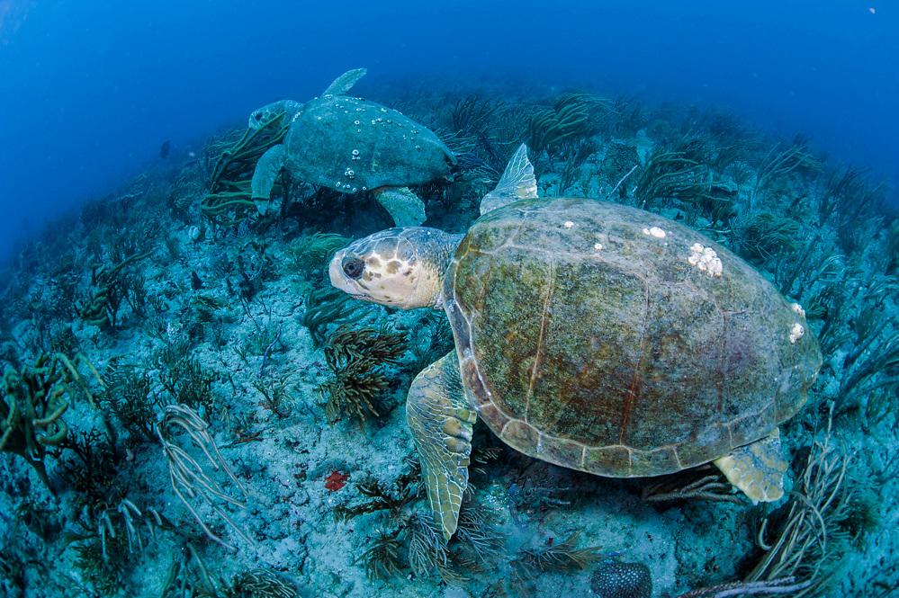 Two loggerhead sea tutles, Caretta caretta, swim side by side on a coral reef in Palm Beach, Florida, United States.