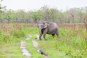 Indian Elephant crossing track, Kaziranga National Park, Assam, India