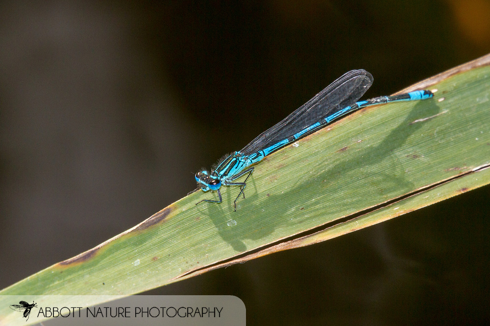 Azure Damselfly (Coenagrion puella) - male<br /> UNITED Kingdom: England<br /> Wicken Fen Nature Preserve off Lodge Lane<br /> 18-Jul-2017<br /> J.C. Abbott