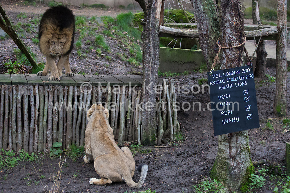 London, UK. 2 January, 2020. A female Asiatic lion behaves aggressively towards Bhanu, a male, during the annual stocktake at ZSL London Zoo. Every mammal, bird, reptile, fish and invertebrate is counted - a total of more than 500 different species - as part of an almost week-long audit required by the Zoo's licence, with the information recorded then shared with other zoos via the Species360 database.
