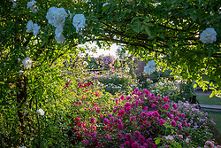General view of the David Austin rose garden. Roses include Rosa 'Tam O'Shanter' syn. 'Auscerise and 'Rosa 'The Mill on the Floss' syn. 'Austulliver'.