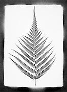 Fern leaf against a white background