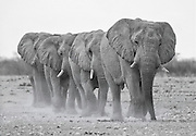 A small group of bulll elephants wearily trudge towards a water hole on the dusty plains of Etosha Pan