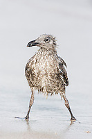 Bedraggled Juvenile Kelp Gull, De Hoop Nature Reserve and Marine Protected Area, Western Cape, South Africa