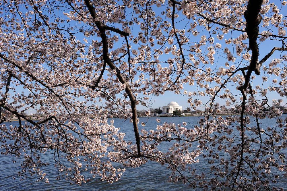 The Cherry Blossoms bloom along the tidal basin in Washington, DC.