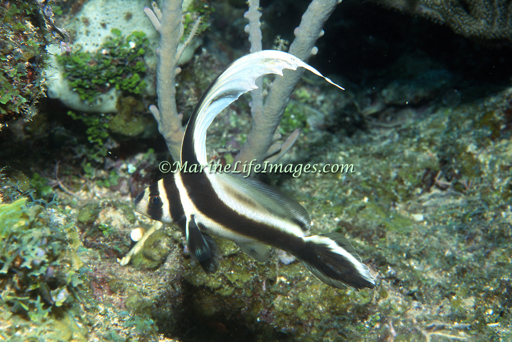 Spotted Drum inhabit secluded areas of reefs, often under ledges, in recesses or near the entrance to caves in Tropicsal West Atlantic; picture taken Grand Cayman.
