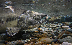 A male chum salmon (Oncorhynchus keta), makes its way up the special spawning channel of Herman Creek during the fall chum salmon run. This male's injuries were possibly inflicted by a bear hoping to make a meal of the fish.  <br /> <br /> These chum salmon are returning to freshwater Herman Creek near Haines, Alaska after three to five years in the saltwater ocean. Spawning only once, chum salmon begin to deteriorate and die approximately two weeks after they spawn. Both sexes of adult chum salmon change colors and appearance upon returning to freshwater. Unlike male sockeye salmon which turn bright red for spawning, male chum salmon change color to an olive green with purple and green vertical stripes. These vertical stripes are not as noticeable in females, who also have a dark horizontal band. Both male and female chum salmon develop hooked snout (type) and large canine teeth. These features in female salmon are less pronounced. <br /> <br /> Herman Creek is a tributary of the Klehini River and is only 10 miles downstream of the area currently being explored as a potential site of a copper and zinc mine. The exploration is being conducted by Constantine Metal Resources Ltd. of Vancouver, British Columbia along with investment partner Dowa Metals &amp; Mining Co., Ltd. of Japan. Some local residents and environmental groups are concerned that a mine might threaten the area&rsquo;s salmon. Of particular concern is copper and other heavy metals, found in mine waste, leaching into the Klehini River and the Chilkat River further downstream. Copper and heavy metals are toxic to salmon and bald eagles.<br /> <br /> Chilkat River and Klehini River chum salmon are the primary food source for one of the largest gatherings of bald eagles in the world. Each fall, bald eagles congregate in the Alaska Chilkat Bald Eagle Preserve, located only three miles downriver from the area of current exploration.
