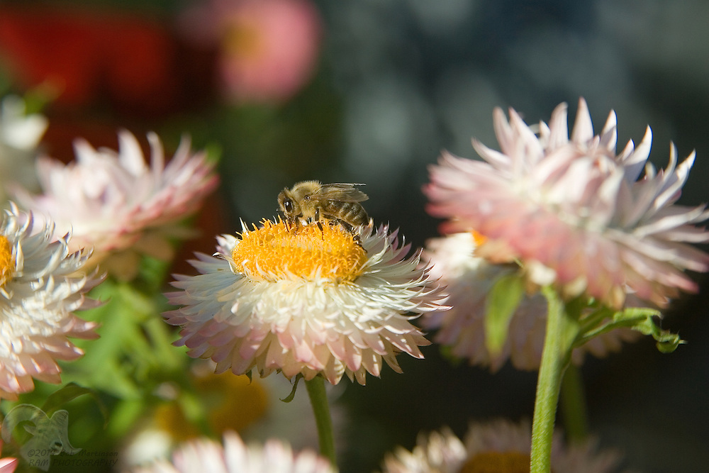 A honey bee stops atop a strawflower in late fall near the City of Palmer, Alaska.