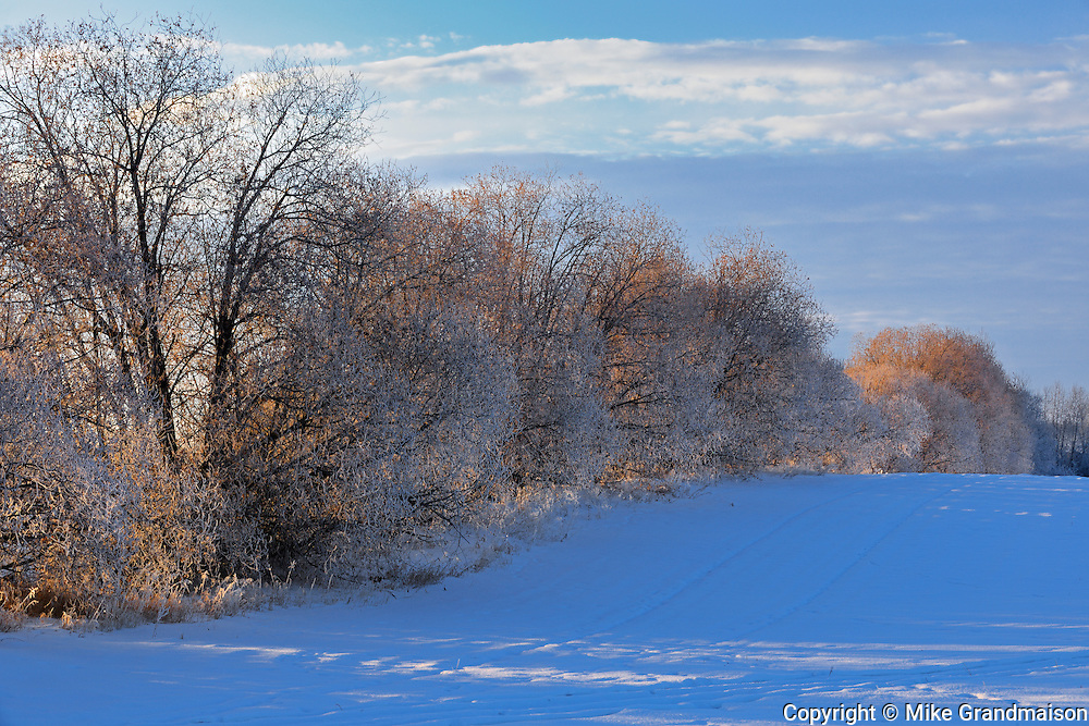 Shelterbelt trees covered in hoarfrost<br /> near Prince Albert<br /> Saskatchewan<br /> Canada