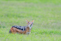 Black-Backed Jackal sniffing the air while amongst open grassland, Addo Elephant National Park, Eastern Cape, South Africa