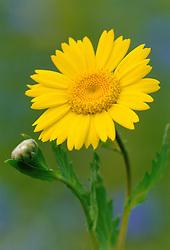 Chrysanthemum segetum<br /> Corn marigold