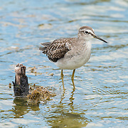 The marsh sandpiper (Tringa stagnatilis) is a small wader. It is a rather small shank, and breeds in open grassy steppe and taig